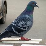 영국, 비둘기 개체 수 급감…걱정