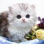 인천 고양이분양 프라임캣, 봄맞이 건강한 고양이 50% 할인분양 이벤트