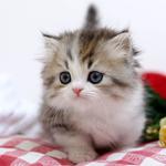 고양이분양 전문업체 나비캣, 2018년 봄맞이 다양한 묘종 최대 60% 할인 이벤트 진행