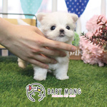 말티즈, 토이푸들 강아지 분양 전문 베이비몽, 애견분양 시 이벤트 진행